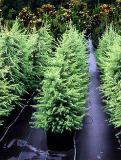 Trees perfect for your area. Buy fast growing evergreen trees, shade trees, flowering trees and fruit trees. Best Prices, Free Shipping! Cedar Trees, Evergreen Trees, Trees And Shrubs, Flowering Trees, Pergola Canopy, Pergola Shade, Diy Pergola, Fast Growing Pine Trees, Fast Growing Evergreens