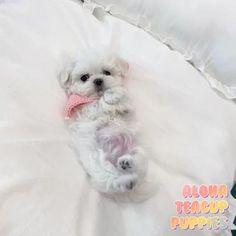 Teacup Maltese Puppies, Micro Maltese, Teacup Maltese For Sale, Maltese Puppies For Sale, Toy Poodle Puppies, Teacup Puppies For Sale, Teacup Pomeranian, Cute Puppies, Cute Baby Dogs