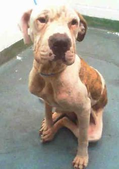 SUNFLOWER (A1697447) I am a female white and brown brindle American Bulldog mix. The shelter staff think I am about 2 years old. I was confiscated and I may be available for adoption on 05/15/2015. — Miami Dade https://www.facebook.com/urgentdogsofmiami/photos/pb.191859757515102.-2207520000.1431263044./974672622567141/?type=3&theater