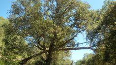 La curiosa relació del pi blanc que descansa sobre l'alzina #arbrebalear #arbrecat #arbres Pinus halepensis Quercus ilex #menorcareservabiosfera #menorcaexisteix #descobreixmenorca #natura #bosc #boscos #nature #forest #tree #trees #pins #alzines #pinar #alzinar #igersnatura #igersnature #igersmenorca_nature #igersmenorca #igersbalears #menorca_eyes #loves_balears by esteve_barcelo