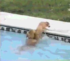 Sweet dog helps his buddy out of the pool!