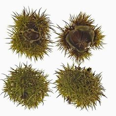 Chestnuts- I remember going to AM with my mom and dad every year to pick these off a tree. Sweet Chestnut, Roasted Chestnuts, Nature Journal, Seed Pods, Great Memories, Botanical Prints, Pine Cones, Roots, Seeds