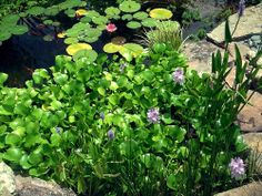 Water Hyacinth Heaven - http://dkenvironmental.com/blog/water-hyacinth-heaven/