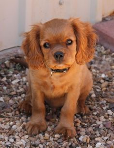 Cavalier King Charles Spaniel with ruby coloring...I think we are getting one like this!!!!  We are so excited!!!