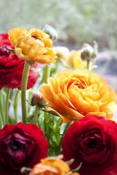 Ranunculus by Mowie Kay Amazing Flowers, Beautiful Flowers, Forever Flowers, Flower Images, Ranunculus, Raised Garden Beds, Garden Styles, Trees To Plant, Garden Plants