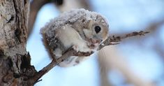 Have you ever seen a CUTER Japanese Dwarf Flying Squirrel? Have you ever seen a Japanese Dwarf Flying Squirrel? Cute Creatures, Beautiful Creatures, Animals Beautiful, Majestic Animals, Woodland Creatures, Cute Baby Animals, Animals And Pets, Funny Animals, Wild Animals