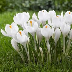 Crocus Jeanne D Arc. Introduced in the 1940s, this is still the world's best white crocus. Its slender, elegant blossoms open to reveal brilliant orange stamens.