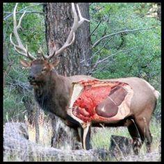 bullet placement for hunting elk | Shot Placement Feature | Elk101.com | Dedicated to Elk Hunting Big Game Hunting, Hunting Girls, Archery Hunting, Hunting Season, Hunting Gear, Hunting Stuff, Bushcraft, Hunting Equipment, Animal Games