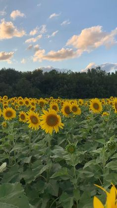 Relaxing in a sunflower field. Relaxing in a sunflower field. Nature Aesthetic, Aesthetic Videos, Aesthetic Pictures, Beautiful Photos Of Nature, Beautiful Landscapes, Beautiful Flowers, Nature Gif, Science And Nature, Nature Videos