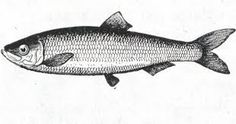 Tattoo idea - herring