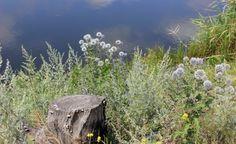 Полынь горькая в природе. 50–150 см высотой. Главное правило при высадке полыни в саду–размещать растения группами. Благородно и изысканно, когда на фоне полыни выделяются яркие цветы. Хорошими партнерами будут  розы – полынь придает им новое звучание. Также можно создать ароматный сад, если высадить рядом с полынью такие растения, как лаванда узколистая, шалфей, тимьян. Полынь будет хороша с васильками, шалфеем, овсяницей, молочаем и со всеми степными растениями.