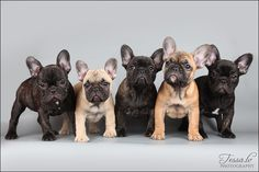 Frenchie pups... Adorable