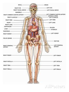 anatomy of the human body system | growablegreetings.com ...
