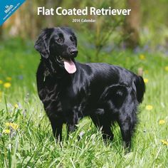 Flatcoated Retriever 2014 Wall Calendar *** Check this awesome product by going to the link at the image.(This is an Amazon affiliate link)