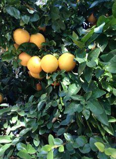 California citrus tree! By Courtney Castrey!