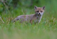 A young fox stands in a meadow in Lofer, Austria, on June 14, 2014. ( AP Photo/ Kerstin Joensson)