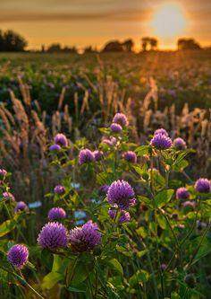 Sweet Clover wildflower