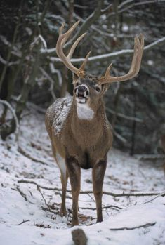 Whitetail Deer Pictures, Whitetail Deer Hunting, Quail Hunting, Deer Hunting Tips, Deer Photos, Bow Hunting, Hunting Dogs, Deer Pics, Big Whitetail Bucks