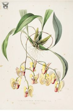 Mr. Rucker's variety of Coryanthes speciosa. Coryanthes speciosa var. The Orchidaceae of Mexico and Guatemala (1837-1843) [Sarah Ann Drake]   by Swallowtail Garden Seeds