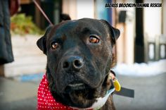 Tali (adopted) is a 5 year-old brindle Lab/Sharpei mix adored by all he meets. He's 20-25lbs., super smart and aims to please. He's crate-trained, housebroken, quiet, and well-behaved, Tali gets along splendidly with all other dogs and people. He likes to play fetch and, if you ask nicely, he SMILES on command. Adopted in 3/2013. (Photo by Hilary Benas)