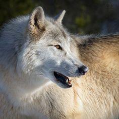 Her Wolf. Lone Wolf.