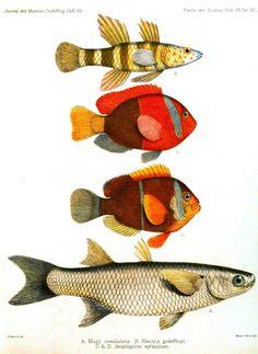 Vintage fish illustration from Journal des Museum Godeffroy, 1873