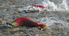 Sockeye heading to spawning grounds by Protection Island, via Flickr
