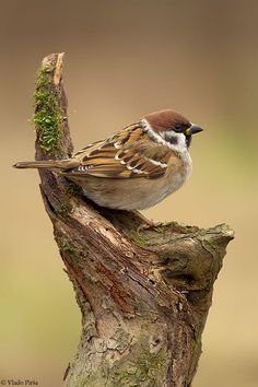 Passer montanus/Eurasian Tree Sparrow or Tree Sparrow/スズメ Small Birds, Little Birds, Colorful Birds, Pretty Birds, Beautiful Birds, Animals Beautiful, Vogel Gif, Sparrow Bird, Hilarious Animals