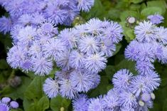 Blue flowers for the garden are sometimes difficult to grow. But Ageratum plants, with fluffy blue flowers, add the desirable blue color to your garden, and caring for them is simple. This article will help. Flower Garden Plans, Flower Garden Design, Garden Ideas, Cut Garden, Garden Express, Full Sun Plants, Mosquito Repelling Plants, Cool Plants, Flower Seeds