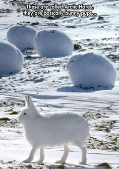 Funny pictures about The Arctic Hare Looks Like A Cross Between A Dog And A Bunny. Oh, and cool pics about The Arctic Hare Looks Like A Cross Between A Dog And A Bunny. Also, The Arctic Hare Looks Like A Cross Between A Dog And A Bunny photos. Cute Creatures, Beautiful Creatures, Animals Beautiful, Cute Baby Animals, Animals And Pets, Funny Animals, Strange Animals, Exotic Animals, Nature Animals