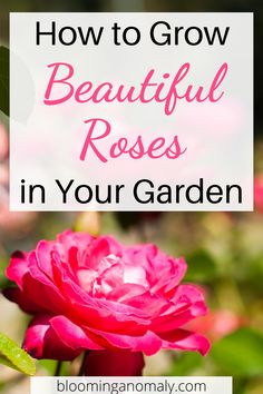 Learn how to grow beautiful roses in your garden. This rose garden guide for beginners is a great place to start. Click on the pin to learn how to grow roses in pots and more. #growroses #rosegarden #flowers #gardening #flowergarden #climbingroses