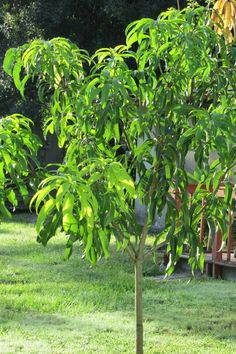 Grow your own Mango Tree. Where and how. Very informative. lifeisjustducky.com