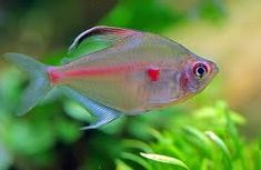 Tropical Passive Community Fish available to buy online for the aquarium. Next day delivery and 10 day health guarantee on all fish. Tropical Fish Store, Tropical Fish Aquarium, Freshwater Aquarium Fish, Fish Aquariums, Betta Aquarium, Pretty Fish, Cool Fish, Beautiful Fish, Peixes Tetra