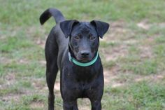 Meet Candy, an adoptable Labrador Retriever looking for a forever home. SC. Candy is shy but warms up to you and then is a love bug. She is house trained and needs room to run and play. Candy is estimated to be about 9 months old.