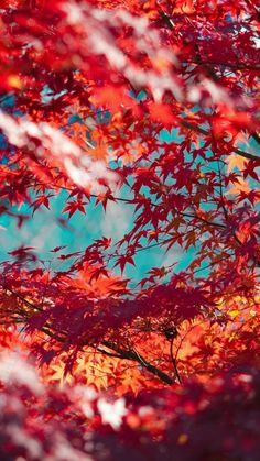 Beautiful Red Maple Leaves iPhone wallpapers. Tap to see more Fall season iPhone wallpapers, lockscreen, fondos. - Nature, Leaves, Trees, scenery, photography. - @mobile9