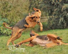 Hound Dogs Running Big Dogs, I Love Dogs, Dogs And Puppies, Saint Hubert Chien, Bloodhound Puppies, Dog Runs, Outdoor Dog, Hound Dog, Mans Best Friend