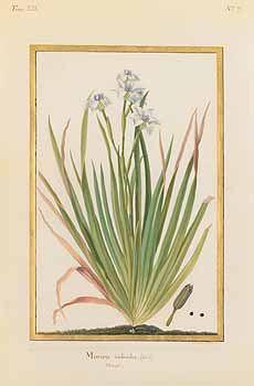 259296 Dietes iridioides (L.) Sweet [as Moraea iridioides L.]  / Collection des vélins du Muséum national d'histoire naturelle, vol. 12: t. 7 () [M.F. Basseporte]