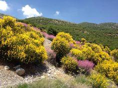 LEBANON, WEST BEKAA, WASSEL (I THINK) HAS A HEAVENLY SMELL..LOVE IT