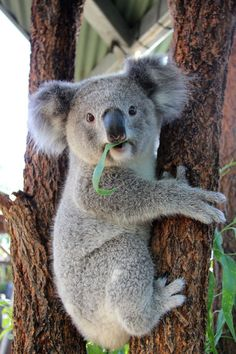 Kissing Koalas: Two Koala joeys have become 'tree-mates' at Taronga Zoo, snacking, sniffing and snoozing side-by-side since moving away from their mothers.