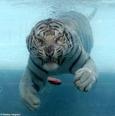 Tigerzz.