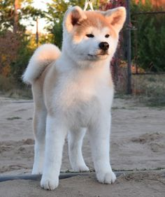See our exciting images. Find more information on labrador retriever puppies. Check the webpage for more information. Akita Puppies, Akita Dog, Baby Puppies, Cute Puppies, Dogs And Puppies, Japanese Akita, Japanese Dogs, Pet Dogs, Dog Cat