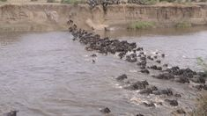 Танзания. Антилопы гну переправляются через Мару. Цена ошибки - жизнь.