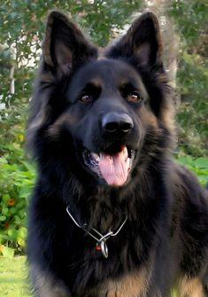 Big beautiful black long haired German shepherd!!!
