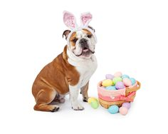 Easter lilies and chocolate bunnies are staples of the holiday, but these and a few other Easter items are no picnic for your pet.