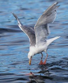 Seagull looking at underwater sockeye salmon by Anne McKinnell
