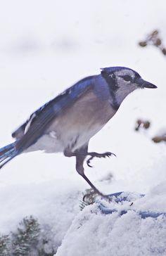 Bluejay Landing in Snow~cl