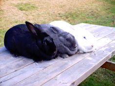 ~ Beveren Rabbits ~