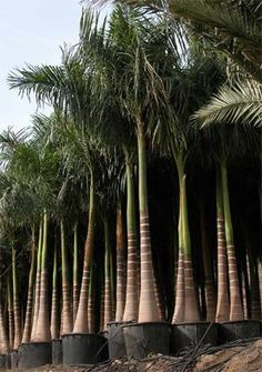 Palm Garden, Tropical Garden Design, Garden Trees, Tropical Plants, Trees To Plant, Amazing Gardens, Beautiful Gardens, Beautiful Flowers, Palm Trees Landscaping