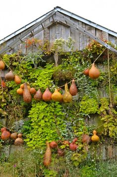 Growing gourds is so great. They can be used for bird houses, drinking gourds, decorative gourds, whatever your imagination can come up with.