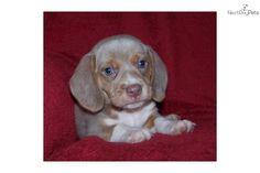 Lilac Beagle